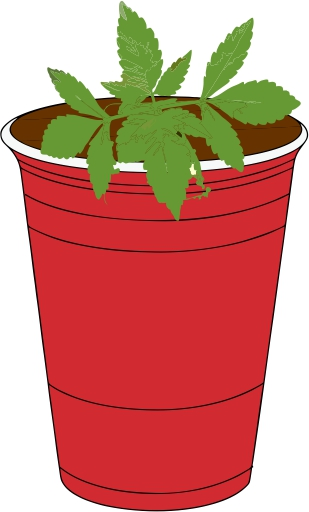 Marijuana plant in solo cup